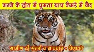 सावधानः खुदागंज-कटरा क्षेत्र में सचमुच आ गया है बाघ, तस्वीर कैमरे में कैद, वन प्रभाग ने की पुष्टि