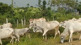 Kids Cow videos / Kids Cow Video With Mooing Sound Without Music / Kids Cow Videos for kids & parent