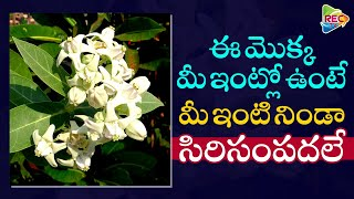 తెల్ల జిల్లేడు విశిష్టత I Interesting Facts About Tella Jilledu I Unknown Facts I RECTV INFO