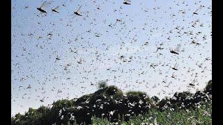 midathalu attack - midathalu news telugu l Locusts attack crops in Telugu states l rectvinfo
