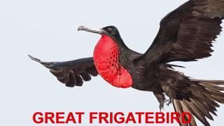 Finger Family Nursery Rhymes | GREAT FRIGATE BIRD | Bird Finger Family Songs Collection For Kids