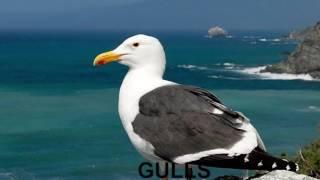 Finger Family Nursery Rhymes | GULLS | Bird Finger Family Songs Collection For Kids