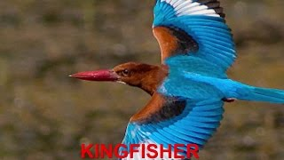 Finger Family Nursery Rhymes | KINGFISHER | Bird Finger Family Songs Collection For Kids