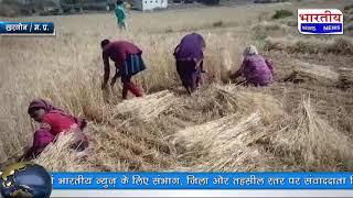 खरगोन जिले के ग्रामीण आदिवासी अंचल मे गेहूं फसल की कटाई का कार्य जोरो पर... #bn #mp