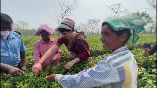 Smt. Priyanka Gandhi learns the intricacies of tea leaf plucking directly from the women tea workers