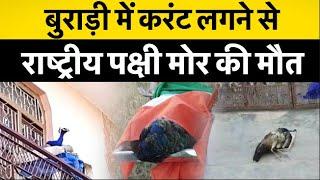 बुराड़ी में करंट लगने से राष्ट्रीय पक्षी मोर की मौत, प्रशासन पर लापरवाही का आरोप