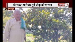हिमाचल में तैयार हुई चीकू की फसल, प्रशोत्तम शर्मा ने पेश की मिसाल