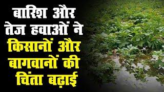 बठिंडा जिला में किसानों की गेहूं की फसल को खासा नुकसान   10 फीसदी फसल बर्बाद होने का अनुमान