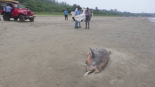 WATCH   Polluted Mandovi river has taken life of this Dolphin?