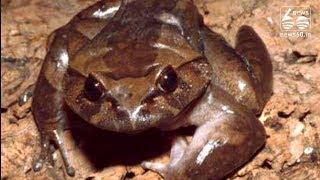 helmet frog; Bones are formed like helmet