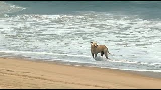 Animals are loving life under lockdown! A dog is seen enjoying on the empty Calangute beach. WATCH