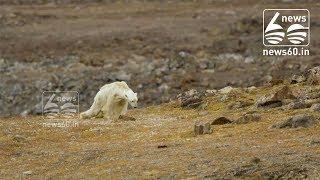 Starving Polar Bear on Iceless Land
