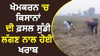 Khem Karan के किसानों की फसल सुंडी लगने से हुई खराब