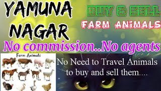 Yamunanagar :- Buy & Sale Farm Animals ♧ Cow, Buffalo, Sheeps- घर बैठें गाय भैंस खरीदें बेचें..
