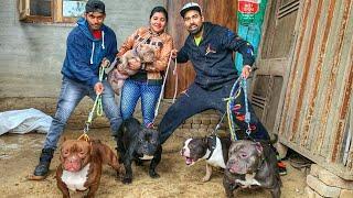 70 Lakh Ka Imported American Bully Dogs   Dog Farm {Buy Puppies , Dog Breeding}