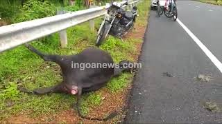 #Accident | Biker hits stray cattle at night at Canacona on NH66