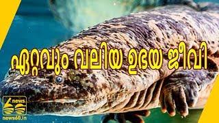 വനനശീകരണം ഇല്ലാതാക്കുന്ന ലോകത്തെ  ഏറ്റവും വലിയ ഉഭയ ജീവി.  |  News60 ML