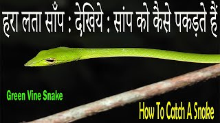 Green Snake : हरा सांप को कैसे पकड़ते हैं : देखिये Video | Green Vine Snake | How To Catch A Snake