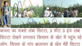 बाजरा का सबसे लंबा सिटटा,साढे 3 फीट लंबा सिटटा देखने बालासर के खेत में पहुंच रहे किसान,कितनी पैदावार