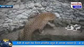 नासिक : जब तेंदुए से भिड़ गई नन्ही बिल्ली, कुएं में हुआ 'दिल जीतने' वाला घमासान। #bn #mh #viralvideo