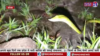 गमले के पौधे में चिपका था तोते जैसी सूरत वाला सुआ सांप, सर्पमित्र ने किया रेस्क्यू