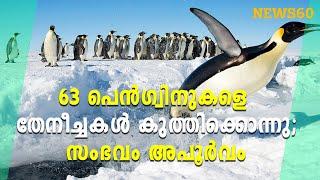 63 പെൻഗ്വിനുകളെ തേനീച്ചകൾ കുത്തിക്കൊന്നു;സംഭവം അപൂർവം   News60