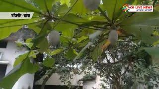 चांपा में बादाम व अमरूद के पेड़ पर कोसा उत्पादन cglivenews