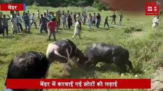 मेंढर में झोटों की लड़ाई में उमड़ी भारी भीड़, सोशल मीडिया पर वायरल हुई वीडियो