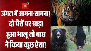 जंगल में Tiger के सामने अचानक दो पैरों पर खड़ा हो गया Bear, देखें फिर क्या हुआ? || Viral Video