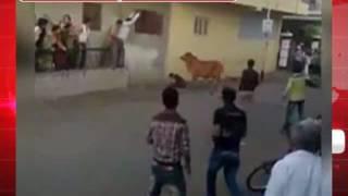 गाय ने युवक को घेरकर हमला किया