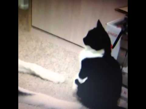 Cat Smacks a Dog    Talking Cat video   Funny cat videos