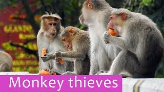Monkey thieves - worlds most  sneakiest animal