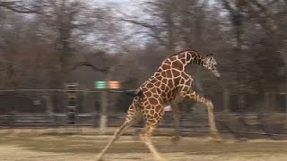 Giraffes Stretch Their Legs Embracing Warm Temps