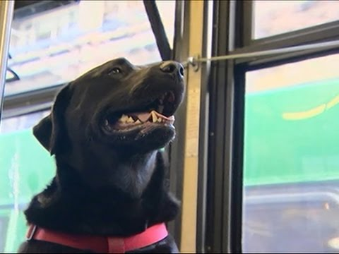 Dog Rides Bus Alone, Wins Hearts News Video