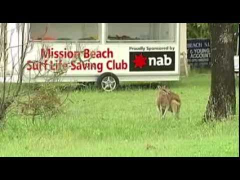 Wallabies Run Amok in Aussie Town News Video