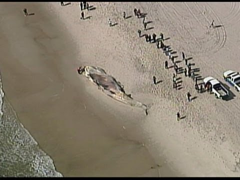 Raw- Dead Whale Washes Ashore on Long Island News Video
