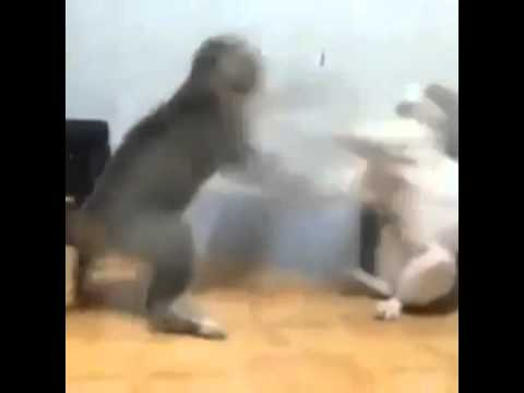Crazy Cat fight video Street fighter style   Funny Cat Videos