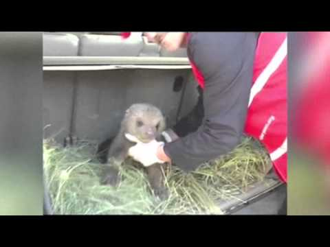 Raw- Activists Rescue 3 Bear Cubs in Kosovo News Video
