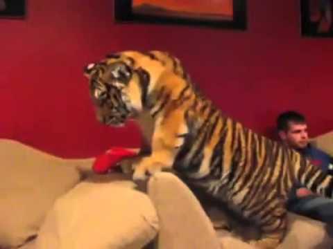 Animals - Pet Tiger - Funny video