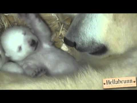 Raw- Polar Bear Cubs Open Eyes for First Time News Video