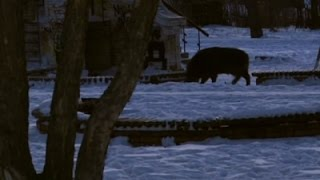 Wild Pig In Russian Park Causes Stir