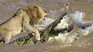 Lion vs Great Crocodile Real Fight