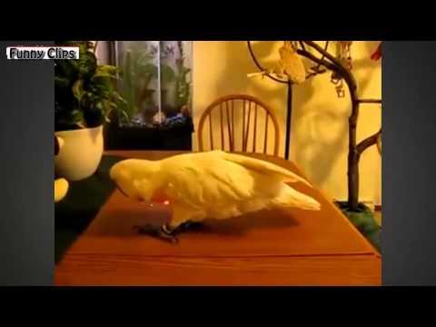 Funny Vídeos - Funny Animal - Funny Parrot Videos Compilation [NEW]