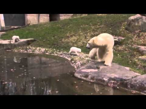 Raw- Twin Polar Bear Cubs Make Munich Zoo Debut News Video