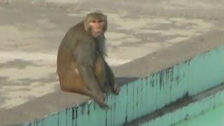 खूंखार बंदरों के आतंक से परेशान लोग, प्रशासन मौन