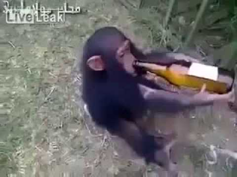 Monkey wants more alchohol - Best Funny Video