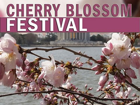 DC Cherry Blossoms About to Hit Peak Bloom News Video