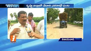 Subabul Farmers Demands For Support Price In Krishna District | Ground Report | iNews