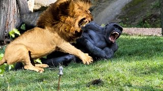 Top 10 Animals Fight - Real Fight