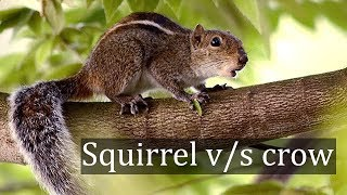 Squirrel vs Crow